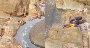 Amatør fanger forbløffende opptak av blekksprut som jakter på land!