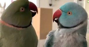 Et par hengivne papegøyer har en veldig menneskeaktig samtale med hverandre.