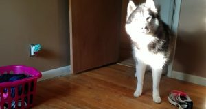 «Mor» konfronterer hund ang. stjålet sko. Hundens hysterisk morsomme respons filmes.