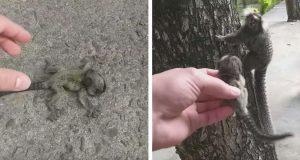 Mann finner apebaby på bakken – gjenforener henne med sin bekymrede mor.