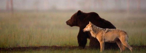 Sjeldent vennskap mellom vill ulv og bjørn blir fanget på kamera i disse utrolige bildene.