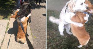 Kjærlig corgi klemmer hver hund han møter på turen. Både store og små, alle skal få!