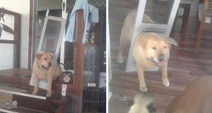 Lubben hund innser det er på tide å slanke seg – når han river med seg hundedøren.