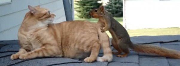 Familiekatten vil bare chille på taket… Men så kommer ekorn-kompisen og vil leke!