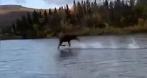 Har du sett dette? Elg trosser fysikkens lover og løper over vannet!