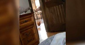 Herreløs hane vandrer inn i familiens hus og bestemmer at han bor der nå!