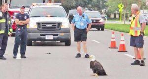 Brannmenn stopper trafikken for å redde hvithodehavørn som blokkerer en vei i Florida.