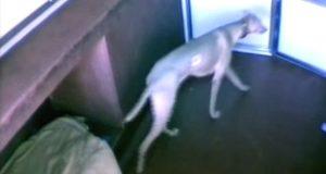 Smart hund sniker sine kennelvenner ut fra avlukkene sine for å feste. Se hvordan han gjorde det.