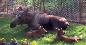 Roland så ut av vinduet – tilbake satt en glisende elgfamilie som koste seg i ettermiddagssolen.