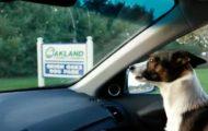 Hunden går av skaftet når han innser de er på vei til hundeparken