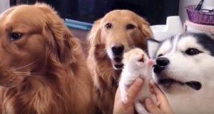 Hundene treffer familiens kattunger for første gang. Reaksjonene deres får nå hele nettet til å smelte.