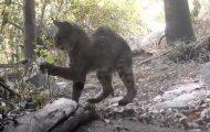 Dramatisk kamp mellom en katt og en klapperslange fanget på film. Nervepirrende!