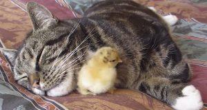 Kattepusen tar seg en høneblund. Det kyllingen gjør da er så søtt at jeg DAUER!