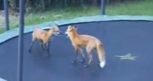 To villrever oppdager trampoline. Når de finner ut hvordan den brukes? MÅ ses.