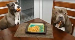 Pappa fersker hundene sine mens de forsyner seg av spaghettien hans – får 1,7M seere over natten.