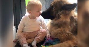 Den tyske schäferhunden bryr seg dypt om sin lille favorittjente – så omsorgsfull!