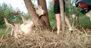 Kua satte hodet sitt fast i treet. Så kom disse syklistene forbi.