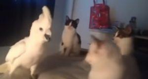 Denne kakaduen bor med en gjeng katter. Det han gjør for å passe inn? Vi ler så vi griner!