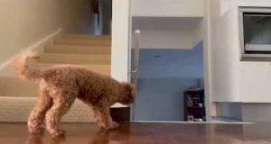 Sneaky hund prøver på bedårende vis å skremme sin eier på toppen av trappen