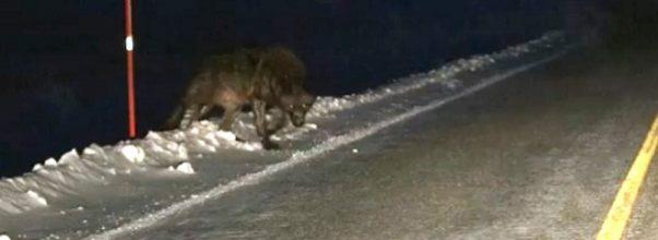 Svær ulv kommer ut fra mørket – går mot mannens bil.