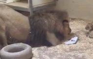 Løvepappa går ned på huk for å møte sin lille løveunge for første gang, i hjertevarm video.