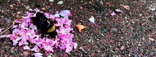 Maur tar med blomsterblader for å dekke død humle i det som ser ut som 'begravelse'