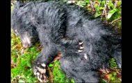 Turgåer bryter loven og risikerer et år i fengsel for å redde den lille bjørnens liv