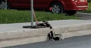 Stinkdyrfamilien krysser veien, men ungene får problemer med fortauskanten. Se hva mamma gjør.