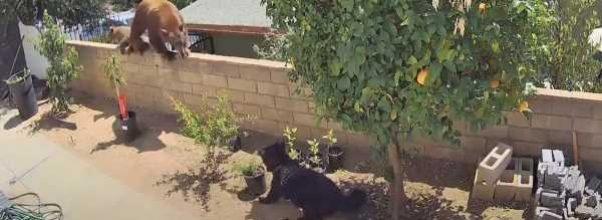 Tenåring dytter bjørn ut av hagen for å redde sin mors servicehund