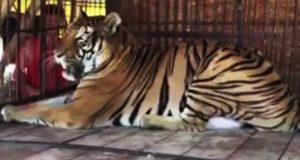 Tiger som tilbrakte hele livet i grusomt sirkus reddet og frigjort.